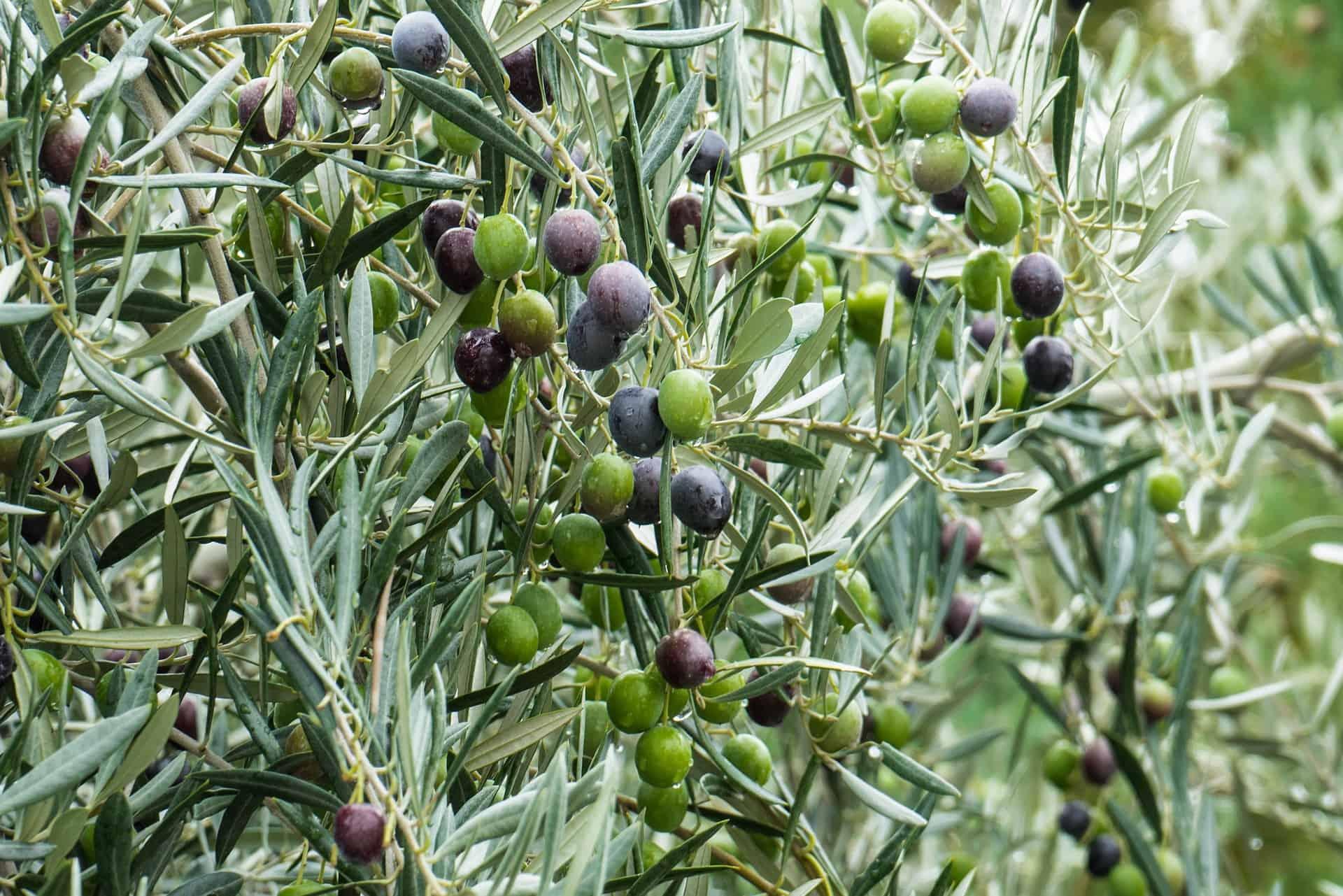 olive-1019286_1920
